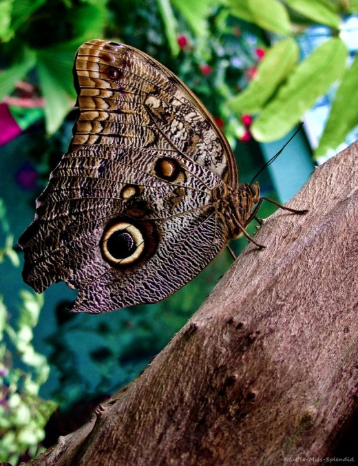 Owl butterfly life cycle - photo#8