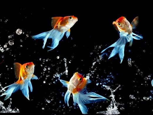 Blue Tailed Goldfish