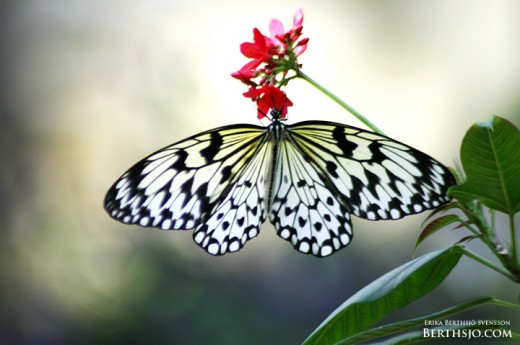 Butterfly by Pinglan