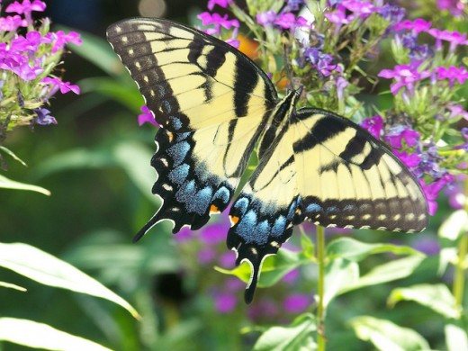 Butterfly by Sfajane