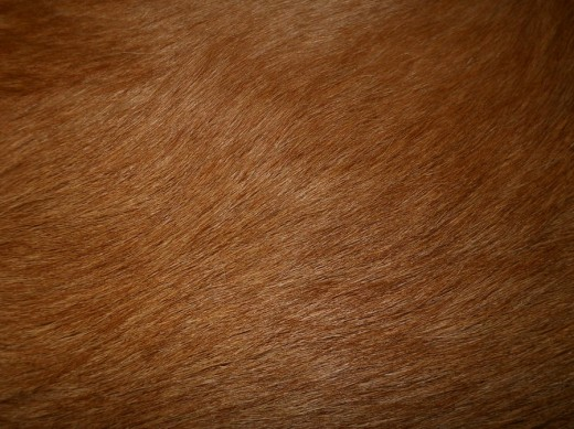 Golden Retriever Fur Texture