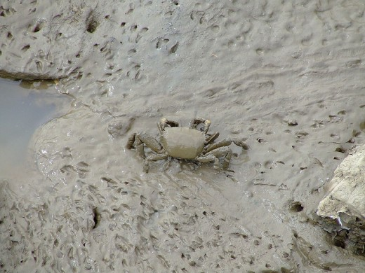 Muddy Mud Crabs at Cairns