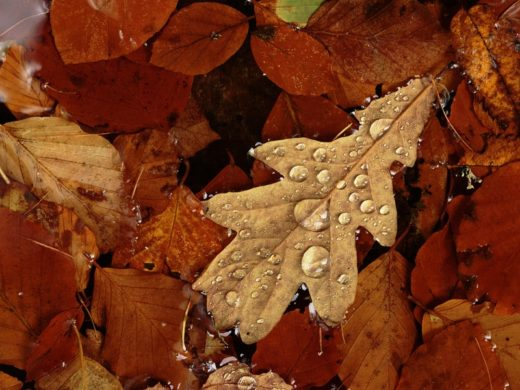 Oak Leaf Wallpaper