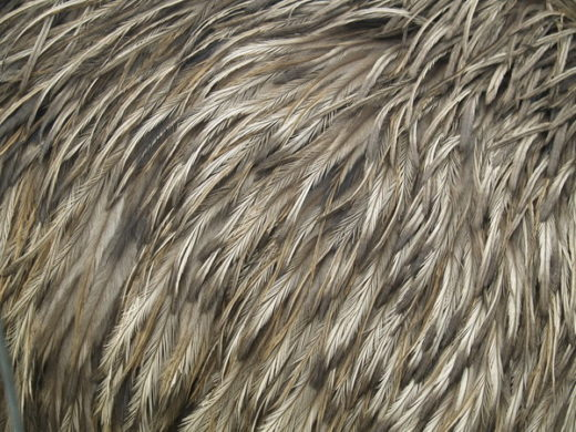 Emu Feather Texture
